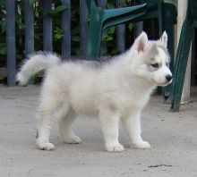 Healthy cute Siberian Husky puppies available for adoption Text or call (970)614-5829