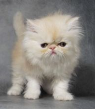 I have 12 weeks old Persian kittens,