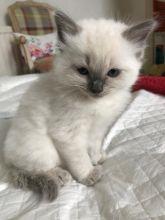 Registered male and female Ragdol kittens