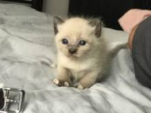 We have 2 male and female Siamese kittens
