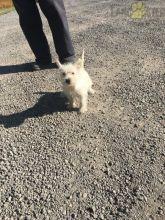 ***Gorgeous RARE Westie Puppies***