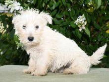 ❤️❤️ Westie Puppies ❤️❤️ Girl & Boy ❤️ ❤️