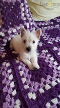 ***WESTIE PUPPIES-READY FOR NEW HOMES***