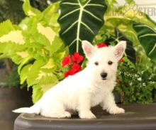 12 weeks old Westie Pups *Trained*
