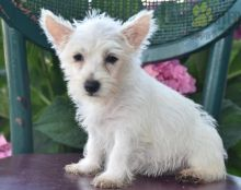 Beautiful Westie puppies for adoption~non shedding