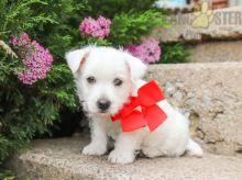 Adorable Westie Puppies-Male/Female left!!