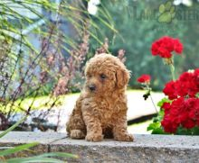 Healthy adorable *Toy Poodle* puppies!