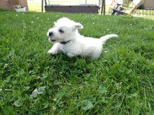 Healthy adorable *Westie* puppies!