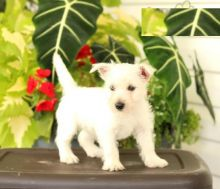 Lovely Westie pups -READY TO pick up