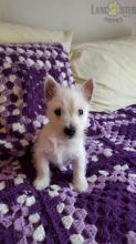 Westie Puppies ready to go home! Health Guarantee Incl.