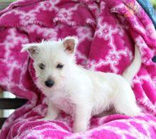 Westie pups!!! Meet them Now !