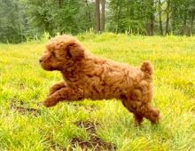 ***Gorgeous RARE Toy Poodle Puppies***