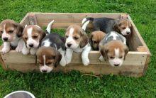 Beautiful Beagle puppies for adoption