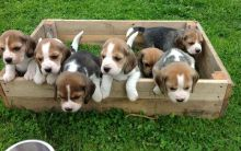 Beautiful Beagle puppies for adoption