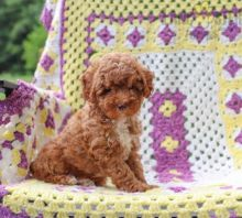 Beautiful Toy Poodle Puppies! READY NOW!