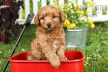 Adorable Toy Poodle Puppies-Male/Female left!!