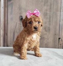 Lovely Toy Poodle pups -READY TO pick up