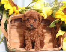 Only 2 available! Toy Poodle pups! **Vaccinated**