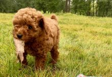 Toy Poodle Puppies ready to go home! Health Guarantee Incl.
