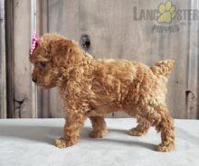 Toy Poodle pups!!! Meet them Now !