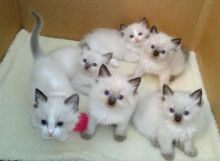 4 Quality Ragdoll kittens available for new homes....kels.wa88@gmail.com