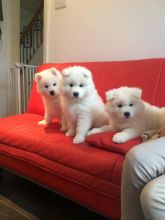 Beautiful Samoyed puppies