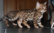 excellent Bengal kittens available for adoption...kels.wa88@gmail.com
