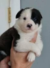 There are male and female Border Collie pups.