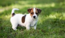 We have two adorable Jack Russell puppies