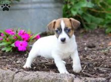 Jack Russell puppies available!!!