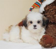 Wonderful shih tzu puppies ready for re-homing