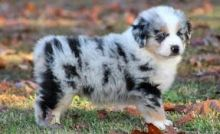 Amazing Australian Shepherd puppies