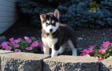 ***Gorgeous RARE Pomsky Puppies***