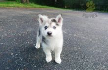 ❤️❤️ Pomsky Puppies ❤️❤️ Girl & Boy ❤️ ❤️