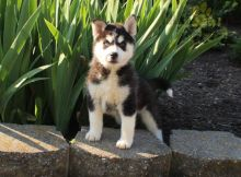 ***POMSKY PUPPIES-READY FOR NEW HOMES***