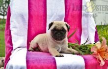 ***PUG PUPPIES-READY FOR NEW HOMES***