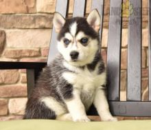 Beautiful Pomsky puppies for adoption~non shedding
