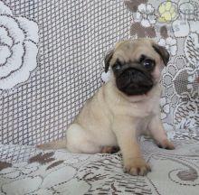 Beautiful Pug puppies for adoption~non shedding