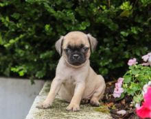 Beautiful Pug Puppies! READY NOW!