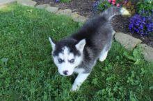 CKC Reg'd Pomsky Puppies- 2 LEFT