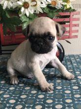 CKC Reg'd Pug Puppies- 2 LEFT