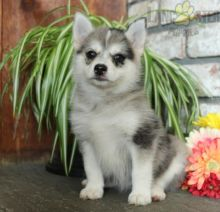 Adorable Pomsky Puppies-Male/Female left!!