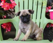 Adorable Pug Puppies-Male/Female left!!
