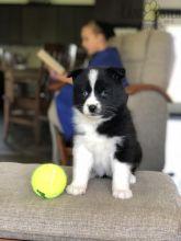 Healthy adorable *Pomsky* puppies!