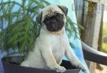 Healthy adorable *Pug* puppies!