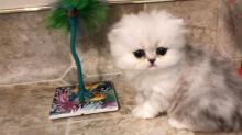 I have 12 weeks old Persian kittens