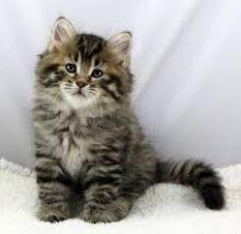 I have a beautiful Siberian Kittens