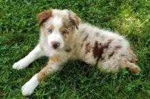 Like Aussies?Cutest Aussies Available