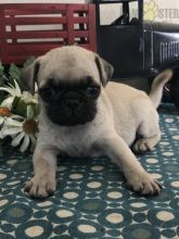 Pug Puppies ready to go home! Health Guarantee Incl.