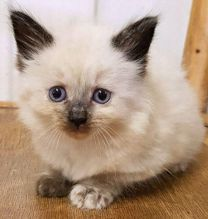 We have 2 male and female Siamese kittens for adoption